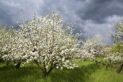 De boomgaard van de lente Stock Foto's