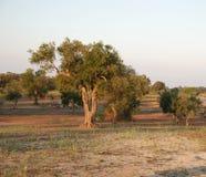 De Boomgaard van de olijf, Zuid-Italië Royalty-vrije Stock Afbeeldingen