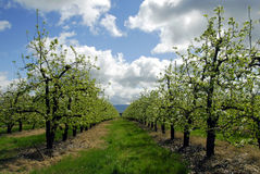 De boomgaard van de peer Stock Foto's