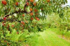De boomgaard van de perzik Stock Foto