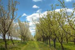 De boomgaard van de pruim Stock Fotografie
