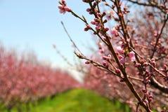 De boomgaard van het fruit Stock Afbeeldingen