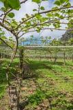 De boomgaard van het kiwifruit in Kerikeri, Nieuw Zeeland, NZ Royalty-vrije Stock Foto
