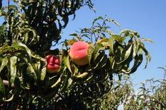 De boomgaard van perziken Stock Afbeelding