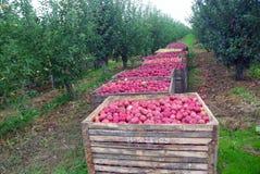 De boomgaardoogst van de appel Stock Afbeeldingen