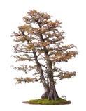De boomillustratie van de bonsai royalty-vrije stock afbeeldingen