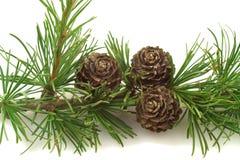 De boomkegels van de lariks op een tak Royalty-vrije Stock Fotografie