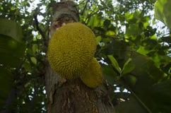 De boomlandschap van Guangdong jackfruit stock foto