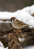 De boommus van de vogel stock fotografie
