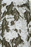 De boomschors van de berk Stock Fotografie