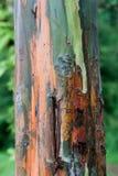 De boomschors van de regenboogeucalyptus Stock Fotografie