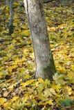De boomstam en de esdoornbladeren van de boom Royalty-vrije Stock Foto