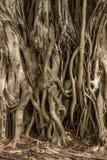 De Boomstam en de Wortels van de Banyanboom stock foto