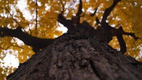 De boomstam en geschud door het zwakke gebladerte van de wind gouden herfst van de oude esdoornboom stock videobeelden
