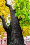 De boomstam en het gouden de herfstgebladerte van de oude esdoornboom stock fotografie