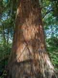 De boomstam en de schors van altijdgroene Sequoia royalty-vrije stock foto