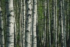de boomstam geweven van de berkboom patroon als achtergrond stock afbeelding