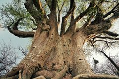 De boomstam van de baobabboom royalty-vrije stock afbeeldingen