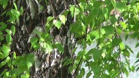 De boomstam van berkbomen en bladeren stock videobeelden