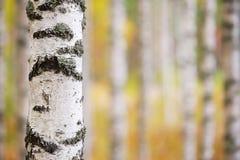 De boomstam van de berkboom royalty-vrije stock fotografie