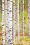 De boomstam van de berkboom royalty-vrije stock afbeeldingen