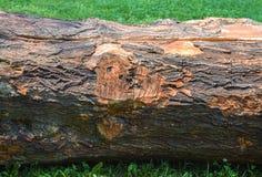 De boomstam van de besnoeiingsboom royalty-vrije stock foto's