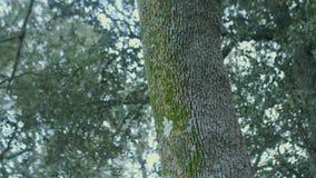 De boomstam van de boom met groen mos stock footage