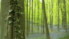 De boomstam van de close-upboom met lian stock footage
