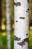 De boomstam van de berk Stock Afbeelding