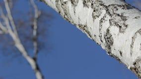 De boomstam van de berk stock footage