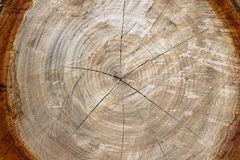 De boomstam van de besnoeiing Stock Fotografie