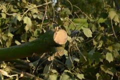 De boomstam van de besnoeiingsboom Royalty-vrije Stock Afbeeldingen