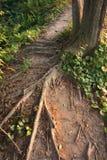De boomstam van de boom en grote wortels Royalty-vrije Stock Afbeeldingen
