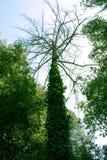 De boomstam van de boom en takken, luifel Stock Foto