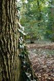De boomstam van de boom met klimop Stock Foto's