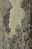 De boomstam van de boom met schors pealing achtergrond Royalty-vrije Stock Foto's