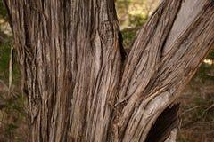 De boomstam van de cederboom stock afbeeldingen