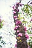 De boomstam van de Cercisboom in volledige bloesem royalty-vrije stock foto's