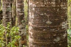 De boomstam van de Kauriboom in regenwoud in Nieuw Zeeland royalty-vrije stock afbeelding