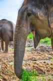 De boomstam van de olifant Stock Fotografie