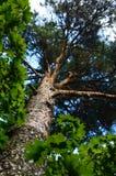 De boomstam van de pijnboomboom en groene bladeren Royalty-vrije Stock Afbeelding