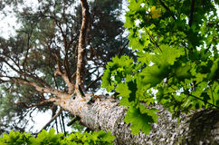 De boomstam van de pijnboomboom en groene bladeren Stock Afbeelding