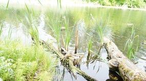 De boomstam van een boom in het water van een vijver Royalty-vrije Stock Afbeeldingen