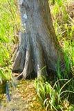 De boomstam van een cipresboom royalty-vrije stock afbeelding