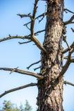 De boomstam van een droge boom droogte Sparen het bos royalty-vrije stock fotografie