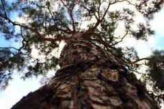 De boomstam van een naaldboom Stock Fotografie