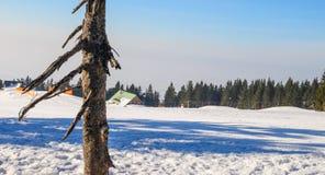 De boomstam van een oude pijnboom op een achtergrond van de toevlucht, de bossen en de hemel van de de winterski royalty-vrije stock afbeelding