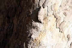 De boomstam van de kastanjeboom met twee-gekleurde schors stock foto's