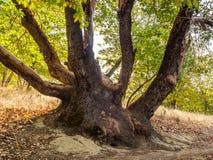 De boomstam van de Madroneboom Royalty-vrije Stock Afbeelding