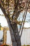 De boomstam van de pruimbloesem bij zonsondergang stock afbeeldingen